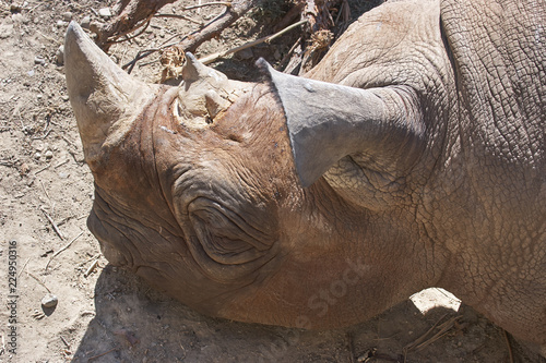 Rhinoceros laying in compound