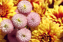 Close Up Of Pink Chrysanthemum...