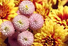 Close Up Of Pink Chrysanthemum In Autumn