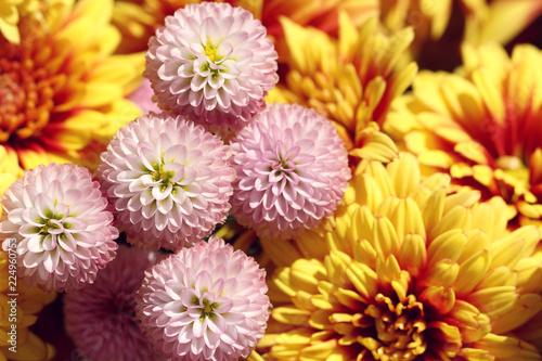 Fotomural close up of pink chrysanthemum in autumn
