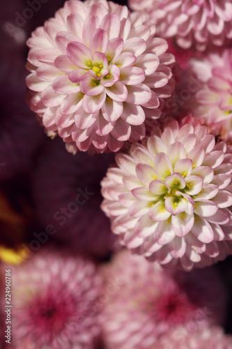 Fotografia close up of pink chrysanthemum in autumn