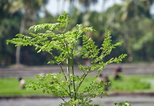 Malunggay Leaves Is A Nutritious Vegetable And Has Many Health Benefits.