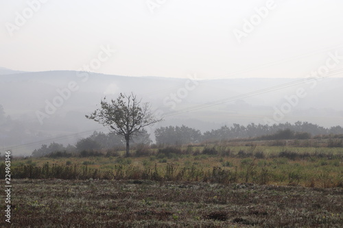 Tuinposter Olijf Lonely tree on a foggy morning