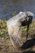 An Adult Sandhill Crane With Its Wing Open