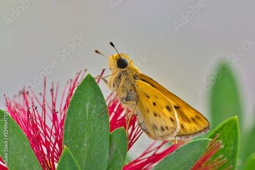 A small Fiery Skipper butterfly (Hylephila phyleus) sits atop a bottle brush leaf with a red flower behind it.