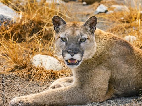 Spoed Foto op Canvas Puma Mountain Lion Cougar Puma Concolor Rocks