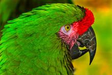 Green Military Macaw Portrait ...