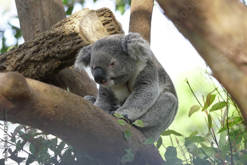 Staande foto Koala Koala on a Tree