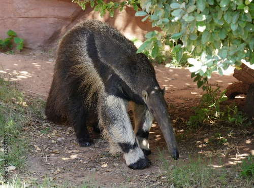 Foto Front view of an ant eater poking its snout into the ground