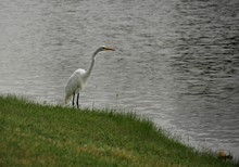 White Egret Standing By The Side Of A Lake