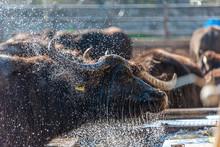 Water Buffalo At Buffalo Mozzarella Farm In Southern Italy