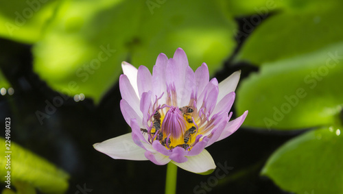 Foto op Canvas Lotusbloem pink lotus and green leaf lotus in the river