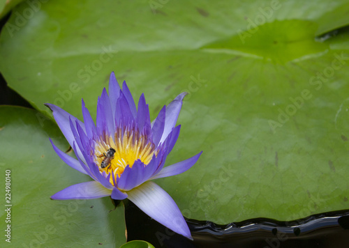 Foto op Canvas Lotusbloem pink lotus and green leaf with bees lotus in the river