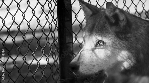 Fotografie, Obraz wolf jailed