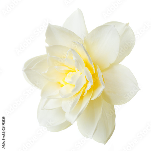 Delicate daffodil flower isolated on white background.