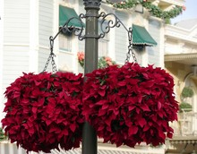 Red Poinsettias Hanging From T...