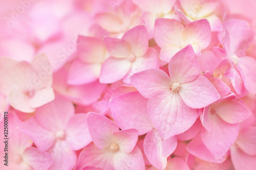 Summer blossoming hydrangea, flower bokeh background, pastel and soft floral card, selective focus