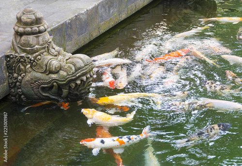 Temple fish pond with colorful Koi carp swimming near a