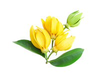 Closeup Ylang-Ylang Flower,Yellow Fragrant Flower On White Background
