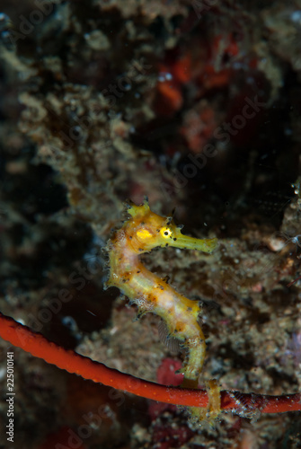 Foto auf Gartenposter Forest river Thorny Seahprse Hippocampus histrix