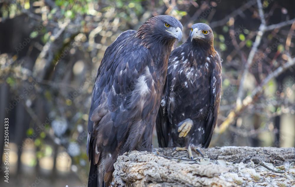 Couple of Iberian Golden eagles or Aquila chrysaetos, Caceres, Spain
