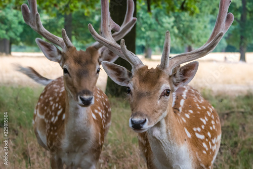 Family herd of spotted deers