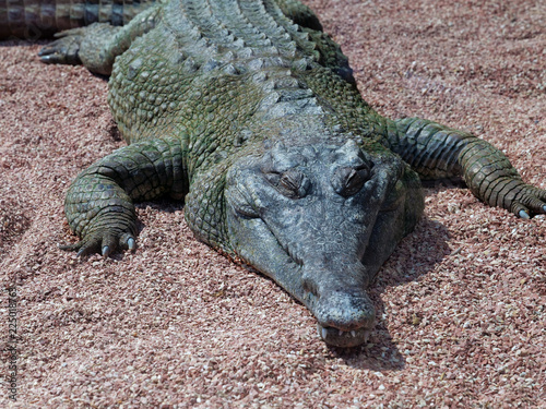 African Slender-snouted Crocodile (species: Mecistops cataphractus) basking on shore under summer sun.