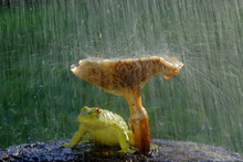 Frog Hiding From The Rain Unde...