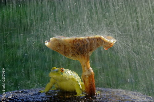Frog hiding from the rain under mushroom