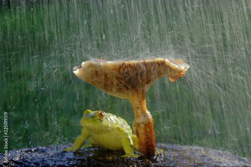 Fototapeta premium Żaba ukrywa się przed deszczem pod grzybem