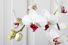White Orchid Flowers.