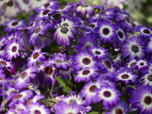 Wide shot of purple cineraria flowers in the garden, with blurred background