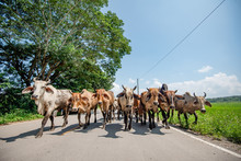 Cow Walk On The Road