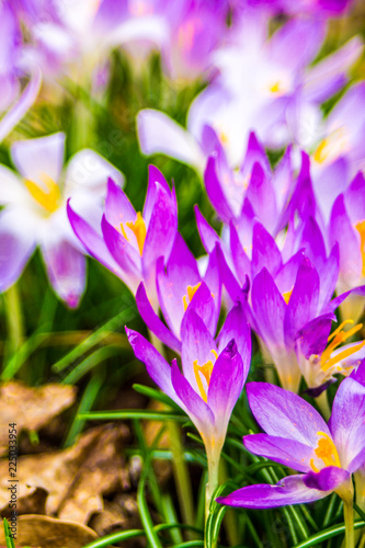 Fotobehang Krokussen Crocus, plural crocuses or croci is a genus of flowering plants in the iris family. A single crocus, a bunch of crocuses, a meadow full of crocuses, close-up crocus