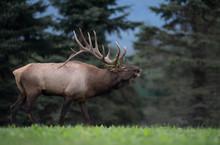 Bull Elk In Pennsylvania