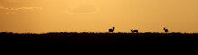Three Gazelle Silhouetted Agai...