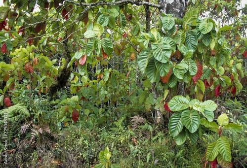 Fotografía  Quinquina, Quinine, Cinchona officinalis