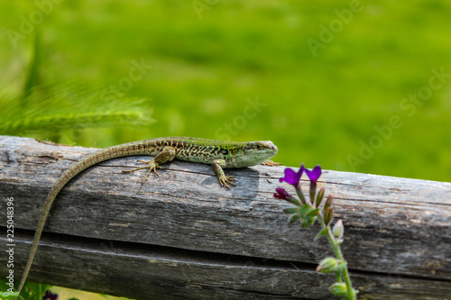 Photo  lizard on the wooden fence