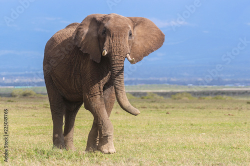 Foto op Aluminium Olifant Portrait of a young bull elephant