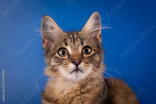 Fototapeta One Small three month kitten mixed breed obraz na płótnie