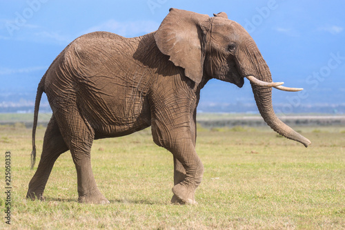 Fotobehang Olifant Profile portrait of a young male elephant
