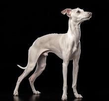 Italian Greyhound Dog  Isolated  On Black Background In Studio