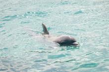 Neugieriger Delfin Taucht Auf
