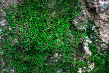 Texture Of Bright Green Moss Growing On A Tree Close-up Concept Of Nature