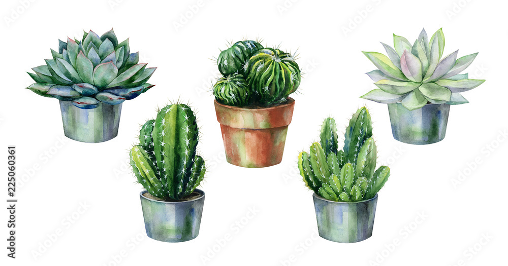 Fototapeta Cactus and succulent in pot isolated on white watercolor. Watercolor echeveria illustration, botanical painting of dudleya and zwartkop. Sempervivum art.