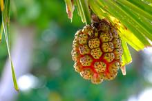Screw Pine (Pandanus Tectorius...