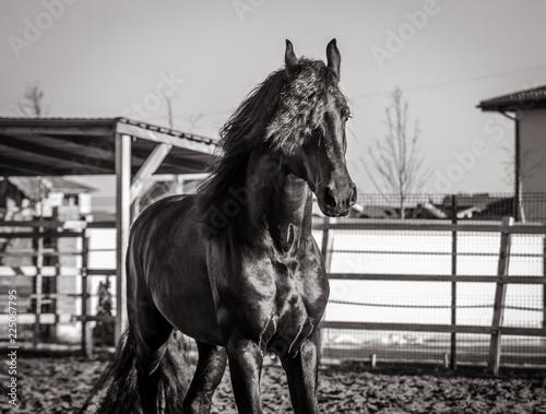 Photo  Black and white photo of the Frisian stallion, who walks on the farm
