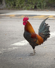 Red Rooster Crossing The Street In Key West, Florida
