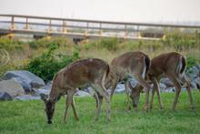 Whitetail Doe Feeding Near Dun...