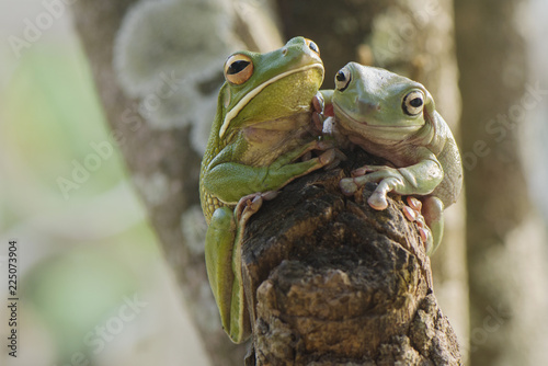 Tuinposter Kikker Two frogs stay on wood